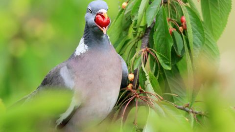 Berry big portion! Hilarious shot shows greedy pigeon with mouth full after devouring too many cherries Image