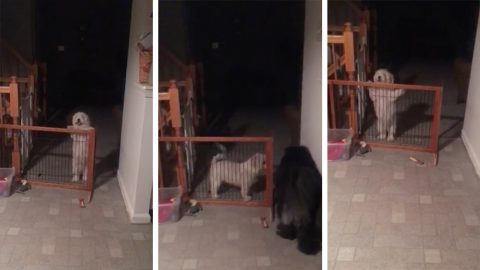 Hilarious video of dog that can't go through the gate Image