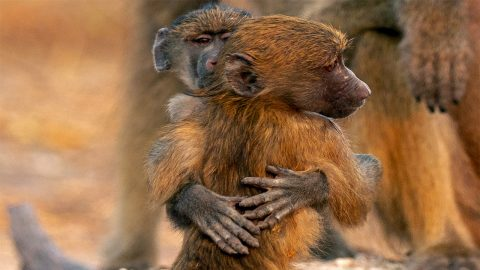 Adorable baby baboons cuddle and become best friends Image