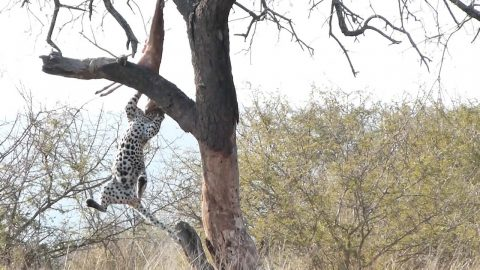 Hilarious footage shows acrobatic leopard fall from tree while clinging on to her kill Image