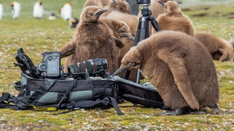 Penguin paparazzi! Fluffy penguin chicks caught mobbing camera equipment as they long to beak in the spotlight Image