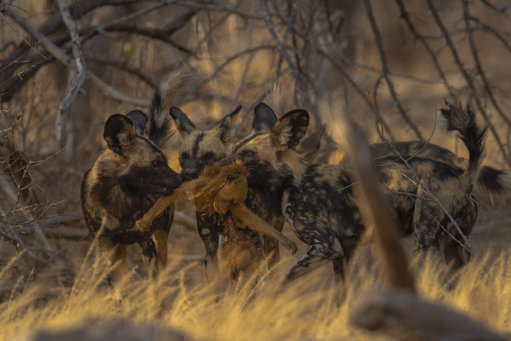 Rarely Captured Scenes Show Pack Of Painted Wolves Set To Feature On Attenborough S Dynasties Hunting Baboons For First Time Ever Caters News Agency