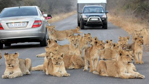 Lion around! Safari tourists' path blocked by pride of lions in road Image