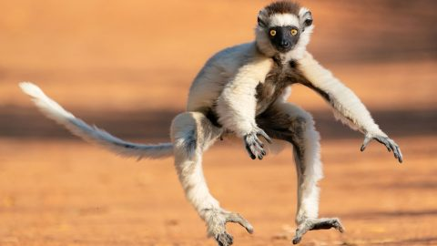 Dancing lemur struts his best moves across sandy path Image