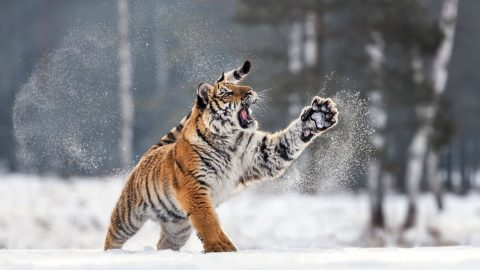 Awe-inspiring images of tiger playing in the snow Image