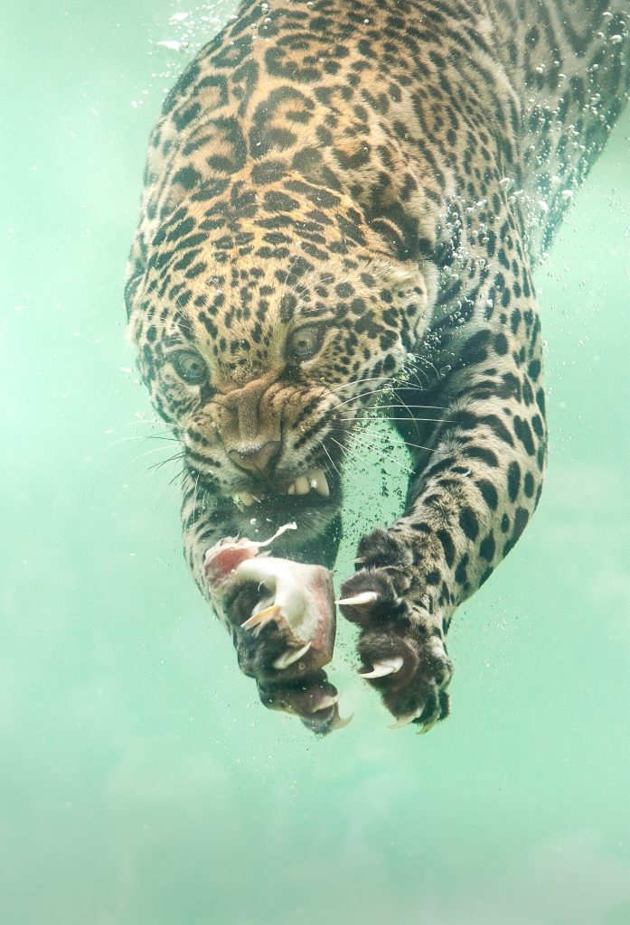 Photographer captures incredibly rare moment jaguar dives to catch food - Storytrender