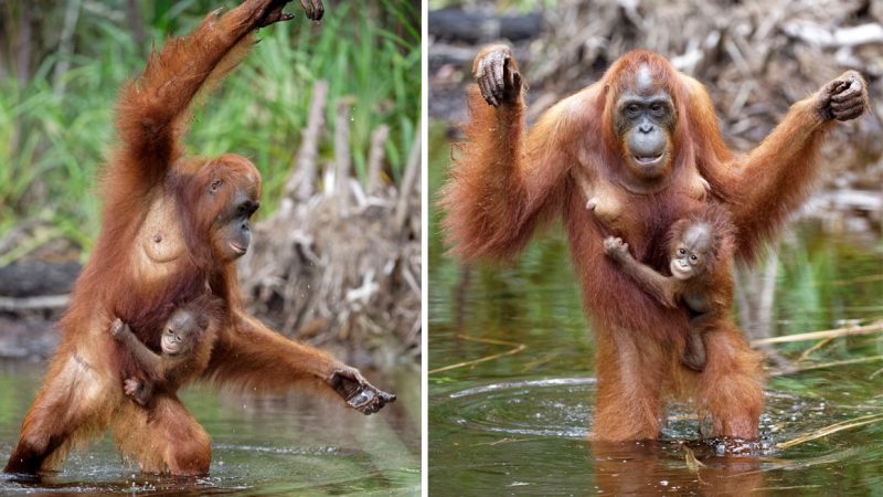 Orangutan and baby practice aerobics in water together Image
