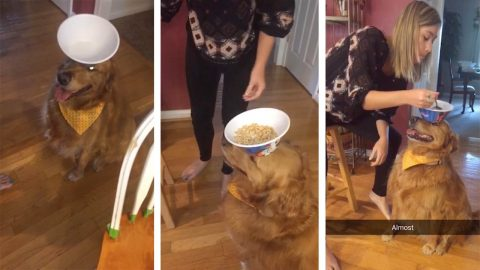 Patient pet dog keeps cereal bowl balanced perfectly on nose for owner- so she can eat breakfast of her head Image