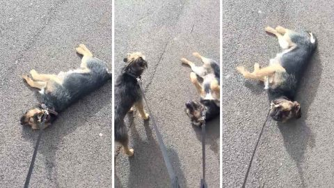 Ruff walkies for this pup; Dog doesn't want walk to end Image