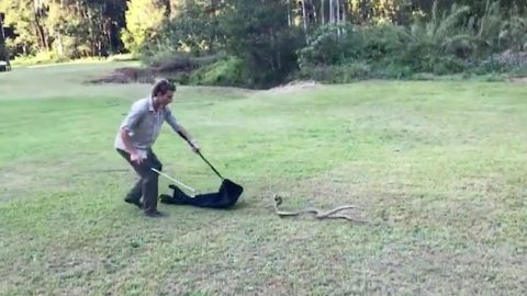 Brave wrangler breaks up fight between two of world's most venomous snakes Image
