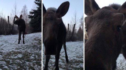 Moose loose outside my hoose: Close encounter with curious moose calf in backyard when it sniffs her camera Image