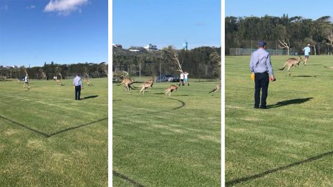 Now thats a soccer-rio! Mob of kangaroos interrupt Australian childrens match Image