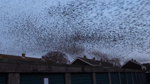 Feathered invasion – Giant swarm of birds take over a housing estate Image