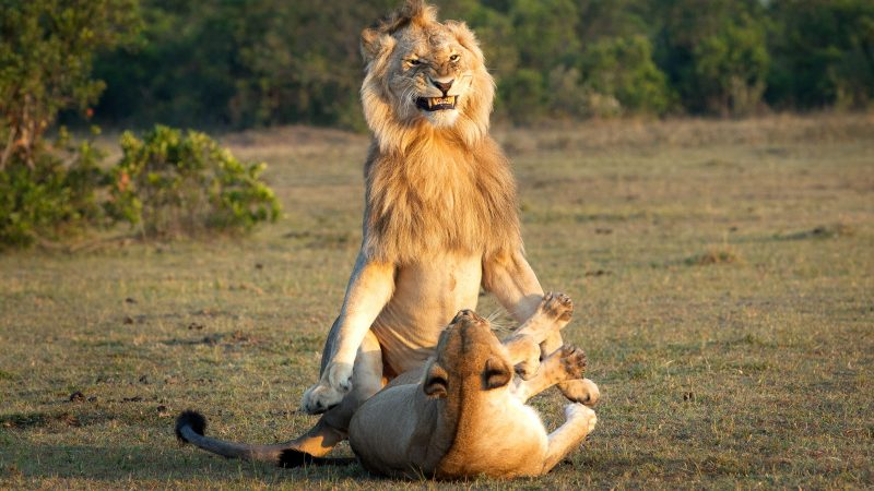 Say cheese! Cheeky lion grins before mating with female Image