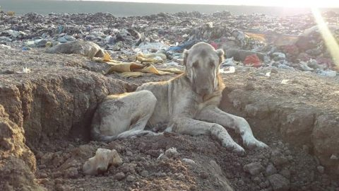 Abandoned dog found waiting to die in trash recovering as part of rescue efforts to save more than 800 landfill dogs from freezing to death Image