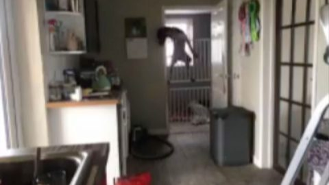 Hilarious footage shows sneaky dog escaping over double baby gate Image