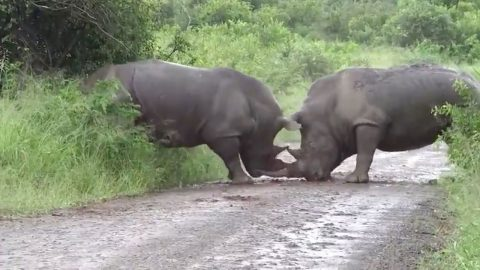 Beating around the bush: savage rhino attack shows one male use its horn to butt rival through bush Image