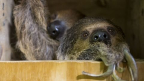 Time To Take It Slow! Animal Lovers Set Up Retirement Homes For Ageing 'Silver Sloths' To Kick Back And Relax Image