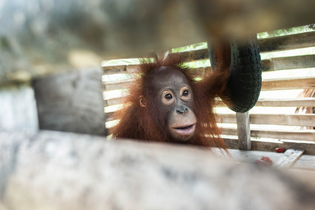 Baby Orangutan Rescued From Small Crate After Four Years In