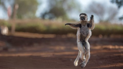 Critically endangered lemur dances and cheekily salutes photographer Image