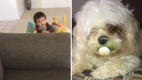 Mum Finds Toddler Crying And Can't Work Out Why Until She Finds Dog With Dummy In Her Mouth Image