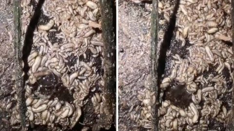 Stomach-Churning Moment Maggot-Infested Tree Lets Out 'Fart' Image