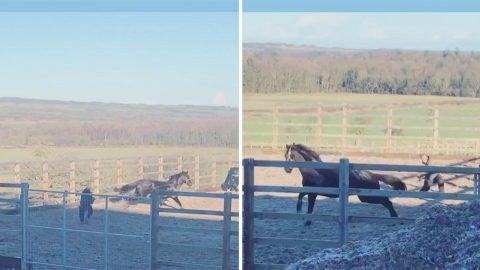 Unlucky groom gets dragged around show grounds by excited horse Image