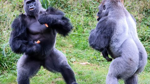 Rumble in the jungle! Hilarious snaps show gorillas exchange words over food Image