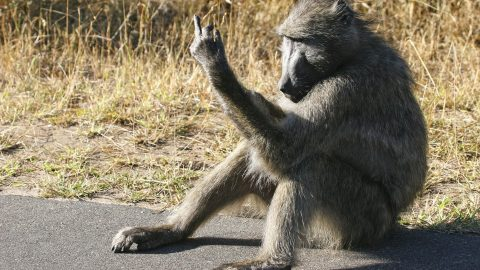 Time To Go Ape! Cheeky Primates Have Had Enough – Sticking Their Fingers Up At The Camera Image