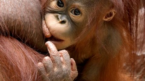 Baby Orangutan Gives Photographer The Middle Finger In Hilarious Shot Image