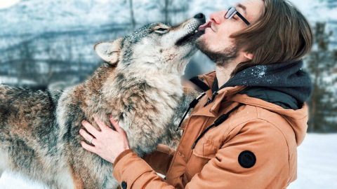 Be part of the pack! Travelling couple tick playing with wild wolves off bucket list for wedding anniversary Image