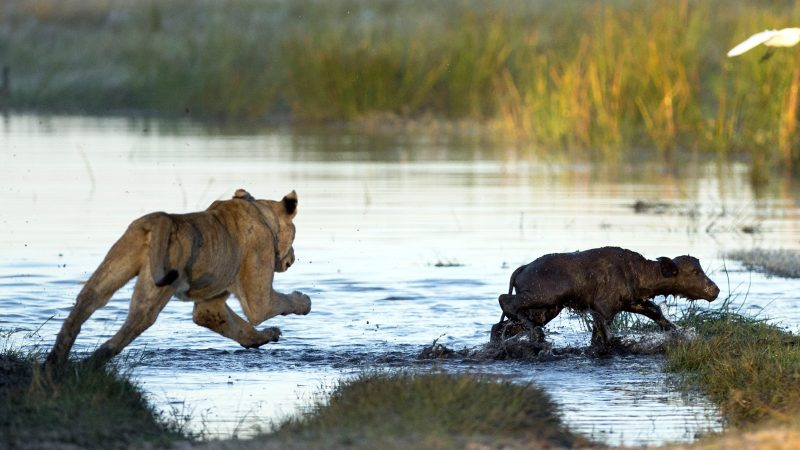 Baby Buffalo Narrowly Avoids Becoming Lioness' Lunch Thanks To Protective Parents Image