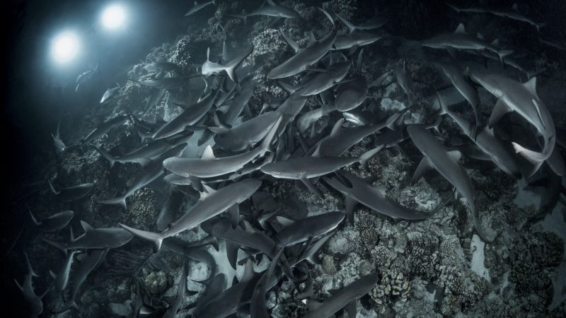 British Photographer Snaps Award-winning Images Of Giant Shark Feeding Frenzy Image