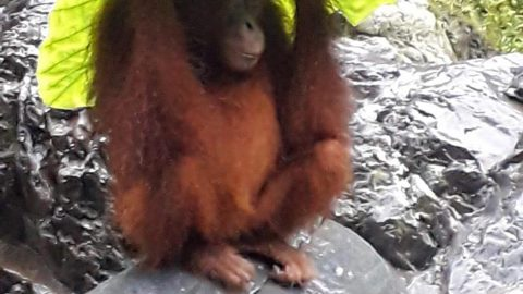 Clever orangutan mum uses caladium leaf as umbrella to protect offspring from heavy rain Image