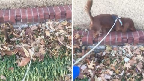 Adorable Daschund Gets Buried While Running Through Pile Of Leaves Image