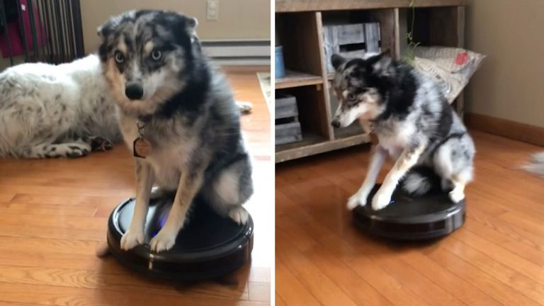 Admirable Lazy Dog Takes Ride Across Living Room Floor On Roomba Download Free Architecture Designs Scobabritishbridgeorg