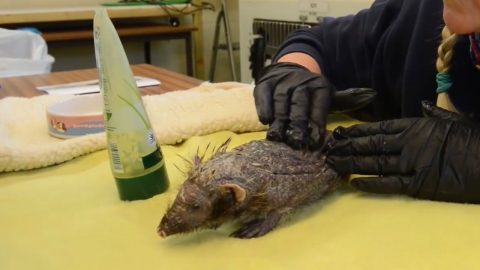 Hedgehog Lost Spines Due To stress Now On Road To Recovery - Thanks To Daily Massages Image