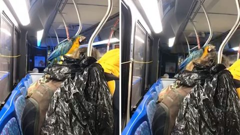 Colourful Macaw Rides Bus On Owner's Shoulder Image