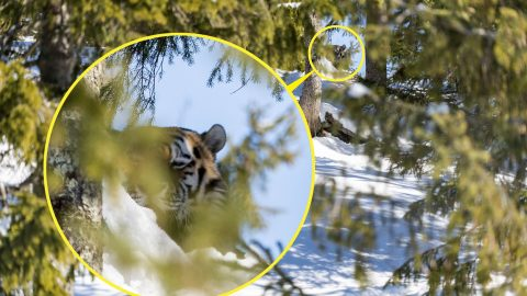Eye Of The Tiger – Big Cat Camouflages On Snowy Slop Image