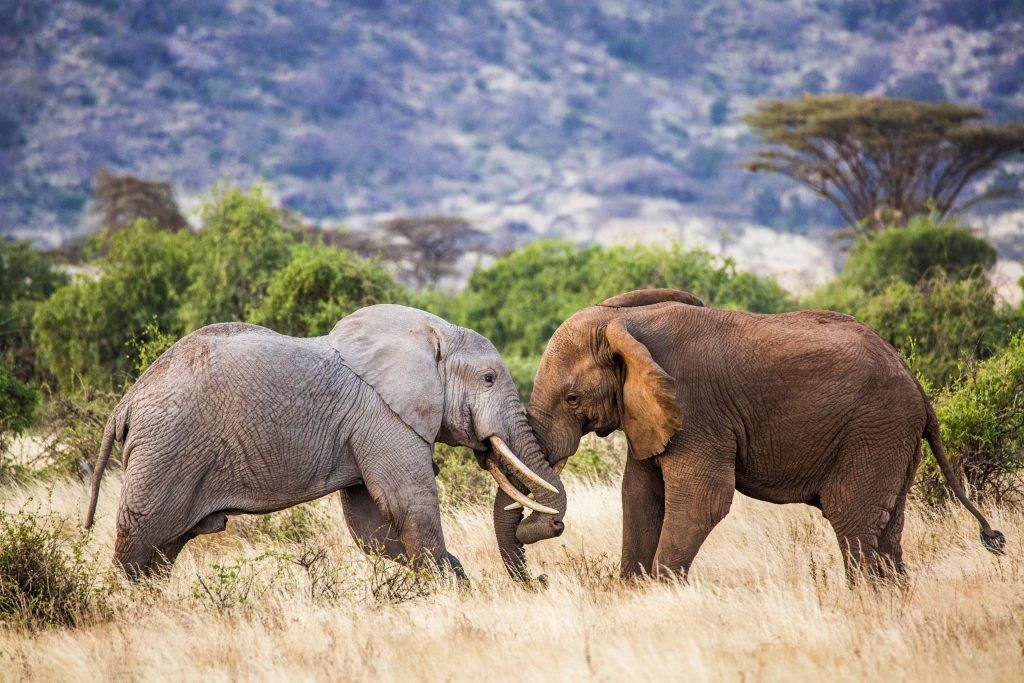Are Elephants Mammals >> Colour The Elephant Mammals Multicoloured Fight Caught On Camera