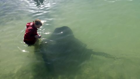 Giant Venomous Stingray Showcases Softer Side As It Demands To Be Petted In Rare Wild Encounter Image