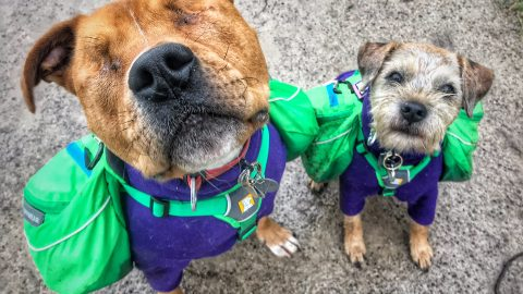 Blind Dog Has A Guide Dog Who Is His Only Friend Image