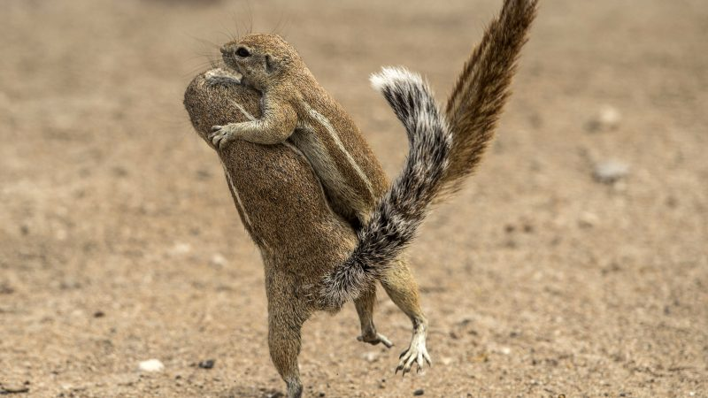 Ju-don't Want To Do That! Tussling Squirrels Resemble Judo Masters Image