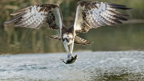 Bigger Fish To Fly! Crystal Clear Shots Of Osprey Catching Dinner With Split Second Precision Image