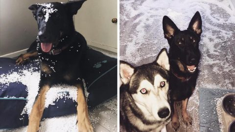 Homeowner Returns To Find Mischievous Dogs Have Torn Bean Bag To Shreds And Covered The Floor With Remnants Image