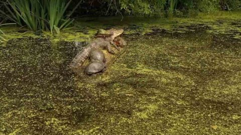 Turtle-y Relaxed: Group Of Turtles Sleep On Log Next To Massive Alligator Image