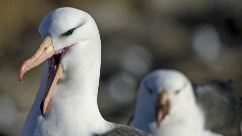 Wildlife Photographer Reveals Terrifying 'scream Face' Of Black-browed Albatross Bearing Its 'teeth' Image