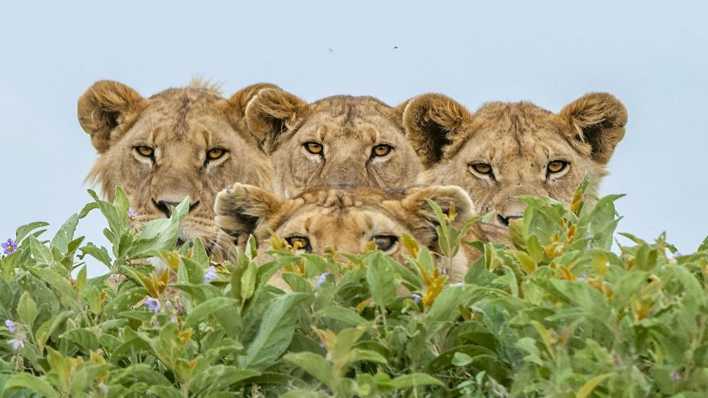 Is This Just Fantasy? Lions Pose For Perfect Boh-mane-ian Rhapsody Shot Image