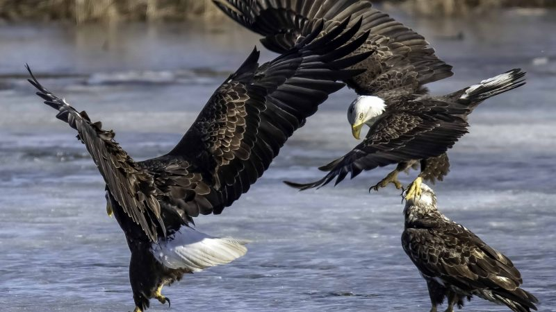 Fight Or Flight? Moment Eagles Attack Is Caught On Camera Image