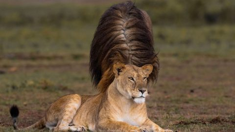 Amy Lion-house! Lion With Funny Hairdo Caught On Camera Image